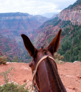 grand-canyon-trail-rides